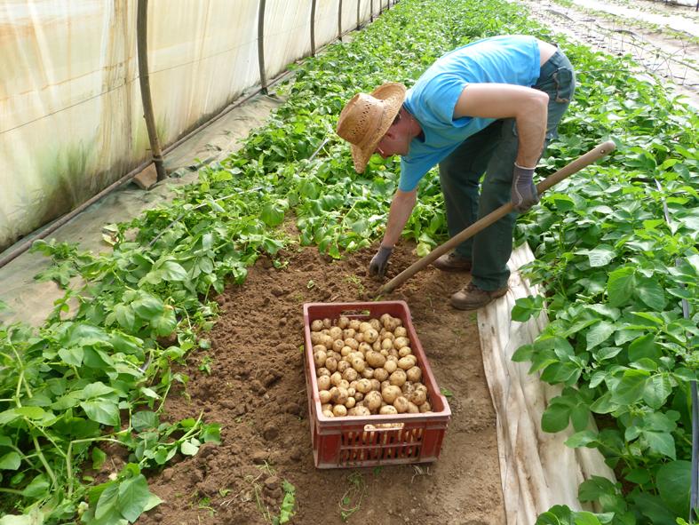 Pomme de terre nouvelle légussimo